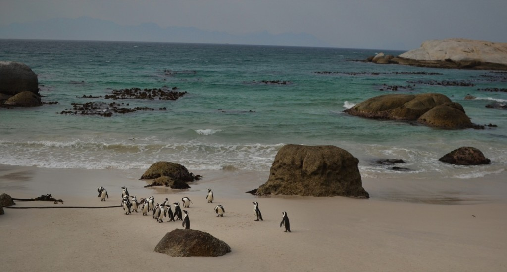 Penguins, Photo David Mason